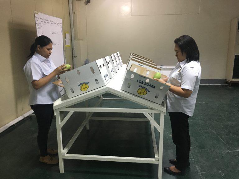 Export Inspection of Vapor Heat Treated Mangoes